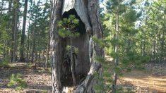 Beyağaç Anıt Ağaçlar